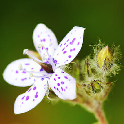 Wildflower, Porongurup National Park, Western Australia